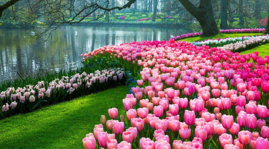 Keväinen puutarha kasvit Keukenhof