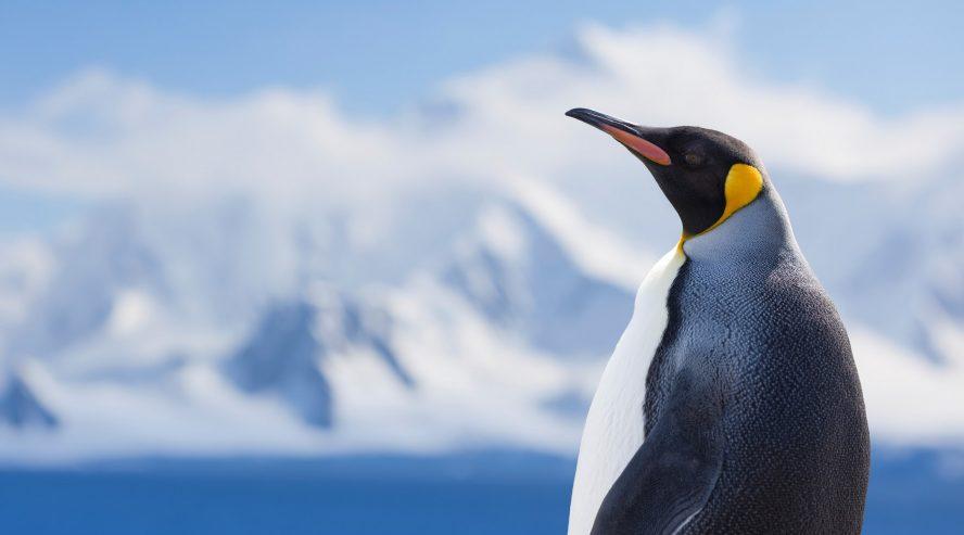 Kuningaspingviini Etelämanner Antarktis min