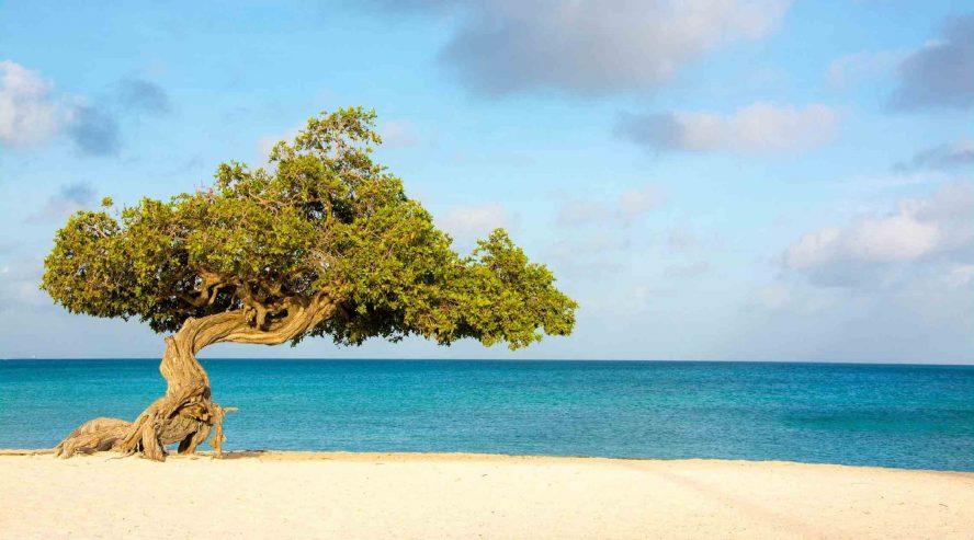 Divi Divi puu Aruba